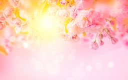 Beautiful sakura pink flower cherry blossom and sun background. Greeting card template. Shallow depth. Soft toned. Spring nature royalty free stock images
