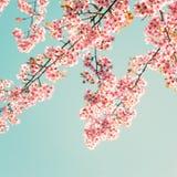 Beautiful sakura pink flower in spring royalty free stock photo