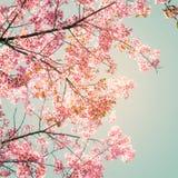 beautiful sakura pink flower in spring royalty free stock image