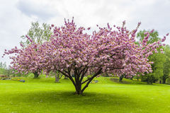 Beautiful sakura tree in the park Royalty Free Stock Photo