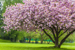 Beautiful sakura tree in the park Royalty Free Stock Images