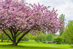 Beautiful sakura tree in the park Royalty Free Stock Image