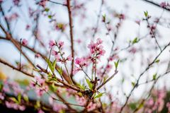 Beautiful Sakura trees in Thailand like Obuse-machi, Nagano Pref royalty free stock images