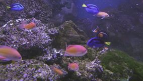 Beautiful saltwater aquarium with corals tropical fish stock footage video stock video footage