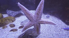 Beautiful saltwater aquarium starfish stock footage video stock video