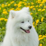 Portrait of a funny puppy Samoyed dog language. Against the back Stock Photography