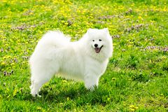 Beautiful Samoyed dog white color. A young white dog samoyed on a green field in summer Stock Photography