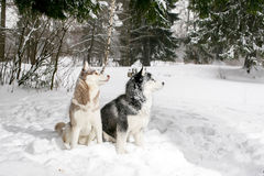 Beautiful Samoyed and husky sitting in the snow. 2 dogs Royalty Free Stock Photos