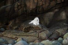 Free Beautiful Samoyed Laika Dog Royalty Free Stock Photo - 178733555