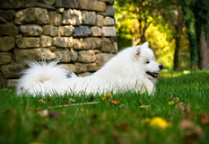 Beautiful Samoyed Royalty Free Stock Images