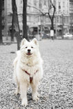Beautiful samoyed portrait stock photos