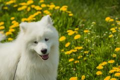 Beautiful Samoyed puppy dog on a background of grass and dandeli Royalty Free Stock Images