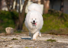 Beautiful Samoyed Royalty Free Stock Image