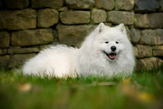 Beautiful Samoyed Stock Images