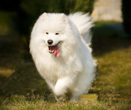 Beautiful Samoyed Royalty Free Stock Photos
