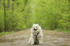 Beautiful Samoyed in the woods Royalty Free Stock Images
