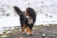 San Bernardo dog in the first autumn snows in Bordes de Envalira, Canillo, Andorra. Beautiful San Bernardo dog in the first autumn snows in Bordes de Envalira stock photo