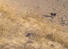 Beautiful sand and dog in the dunes of the Baltic beach at sunset in Klaipeda, Lithuania stock photography