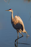 Beautiful Sandhill Crane at dawn Royalty Free Stock Image