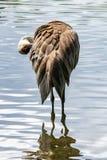 Beautiful Sandhill Crane in water royalty free stock images
