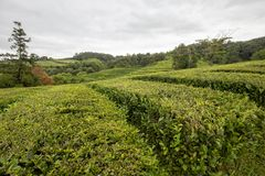 Beautiful Sao Miguel tea. A rainy day in summer at a tea plantation in the Azores royalty free stock photos
