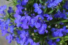 Blue Lobelia Bedding Plant royalty free stock photo