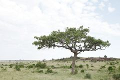 A beautiful sausage tree in Masai Mara. Kigelia Africana is also called a sausage tree Stock Photography