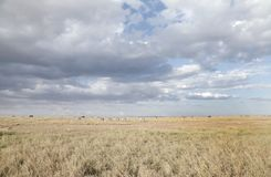 Beautiful Savannah grassland and dramatic cloud in Ol Pejeta Conservancy, Kenya Royalty Free Stock Photos
