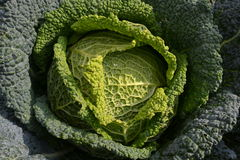 A beautiful savoy cabbage head. Stock Photos