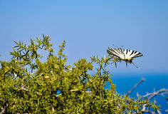 Beautiful Scarce Swallowtail butterfly Royalty Free Stock Photography