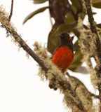 A beautiful Scarlet-Bellied Mountain Tanager Stock Image