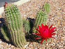 Beautiful scarlet bloom of the hedgehog cactus Royalty Free Stock Images