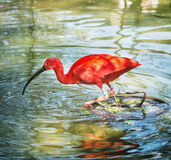 Beautiful Scarlet ibis (Eudocimus ruber) in water Royalty Free Stock Photo