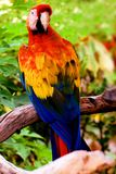 Beautiful scarlet macaw Stock Images