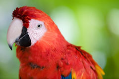 Beautiful scarlet macaw close up. Photo of colorful scarlet macaw Royalty Free Stock Photos