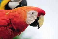 Beautiful scarlet macaw Stock Image