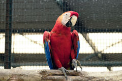 Beautiful scarlet macaw Royalty Free Stock Photography