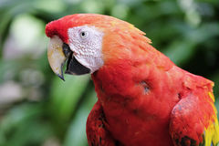 Beautiful scarlet macaw Stock Photo