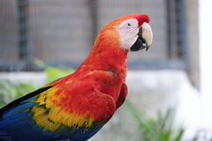 Beautiful scarlet macaw Royalty Free Stock Photos