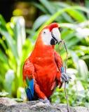 Beautiful scarlet Macaw Stock Photo