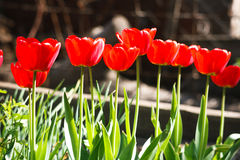 Beautiful scarlet red tulips flowerbed closeup. Flower background Royalty Free Stock Photos
