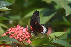 Beautiful Scarlet Swallowtail Butterfly on Red Flowers. Red flowers with a beautiful scarlet swallowtail butterfly stock images