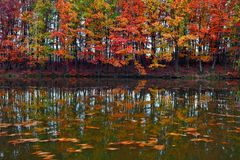 Beautiful scarlet, yellow, orange trees at the lake coast reflect in the water where the leaves are floating. Stock Images