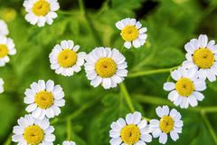 Beautiful scene with blooming medical chamomilles in nature. Macro. Wild chamomile field flowers background. Herbal plant for. Alternative medicine. Soft focus stock photography