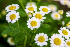 Beautiful scene with blooming medical chamomilles in nature. Wild chamomile field flowers background. Herbal plant for alternative. Medicine. Soft focus royalty free stock photo