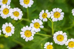 Beautiful scene with blooming medical chamomilles in nature. Wild chamomile field flowers background. Herbal plant for alternative. Medicine. Macro. Soft focus stock images
