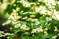 Beautiful scene with blooming medical chamomilles in nature. Wild chamomile field flowers background. Herbal plant for alternative. Medicine. Soft focus stock photos