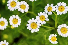 Beautiful scene with blooming medical chamomilles in nature. Wild chamomile field flowers background. Macro. Herbal plant for. Alternative medicine. Soft focus royalty free stock images