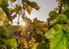 Beautiful scene with bunch of green grape in the vineyard at sunrise. Scene with bunch of green grape in the vineyard at sunrise stock image