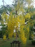 Cassia fistula. Beautiful scene of cassia fistula tree in park with bouquets of bright yellow flowers stock images